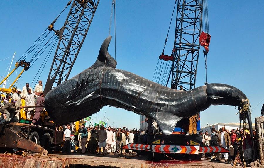 китовую акулу вытаскивают из воды