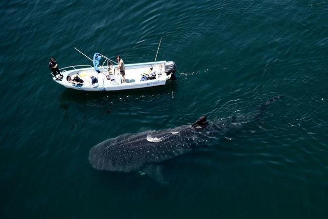 китовая акула и катер