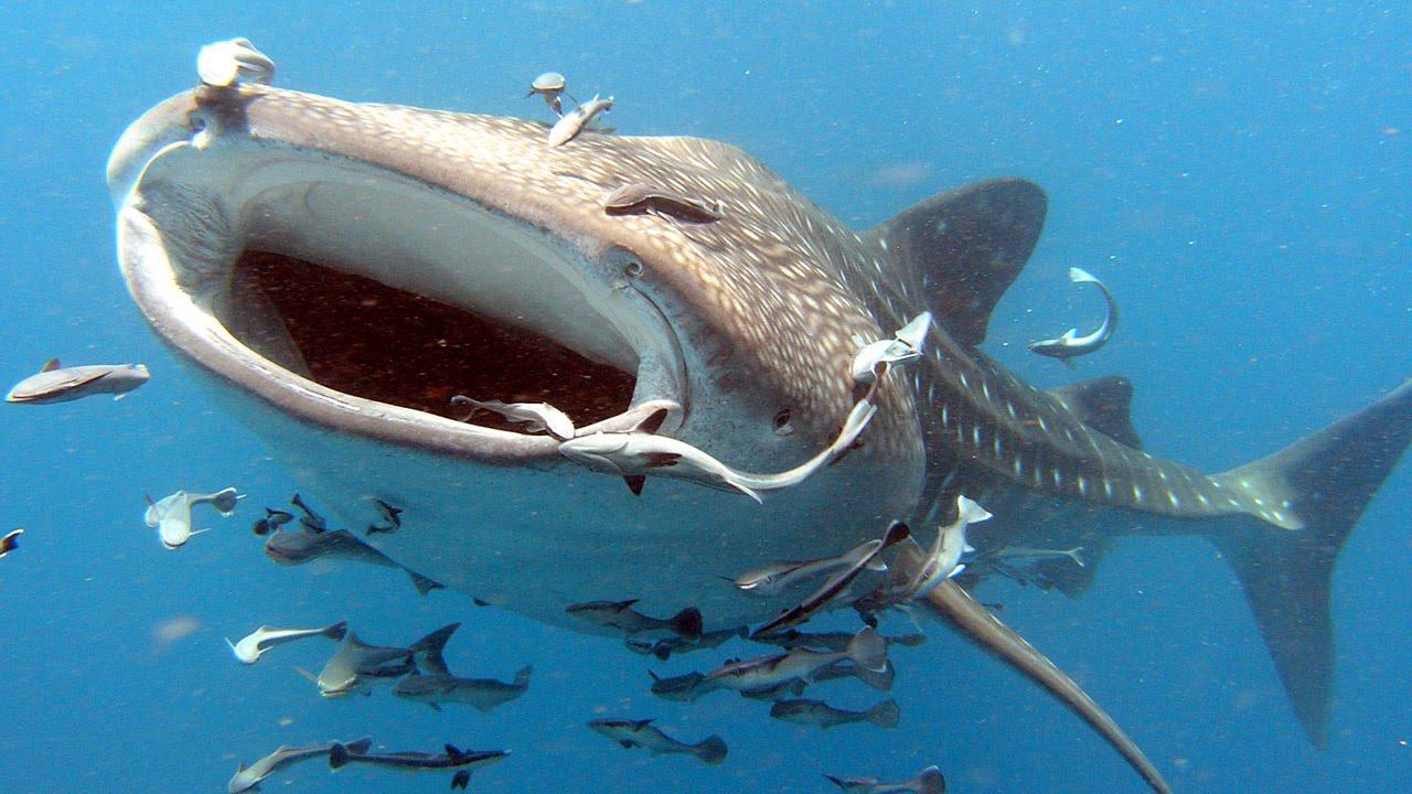 открытая пасть китовой акулы