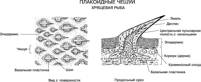 плакоидная чешуя