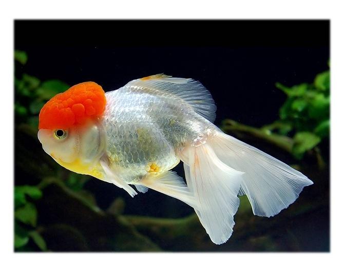 золотая рыбка оранда красная шапочка