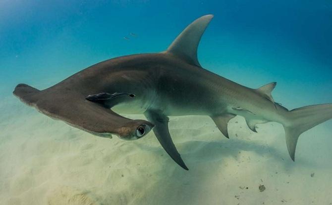 гигантская акула - молот