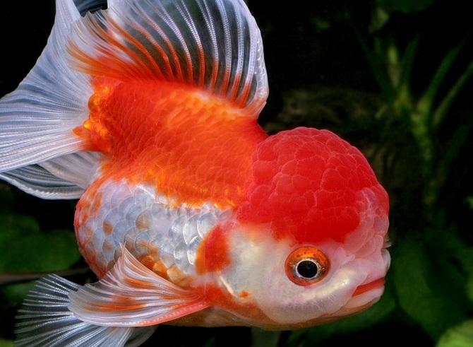 золотая рыбка оранда красно-белая