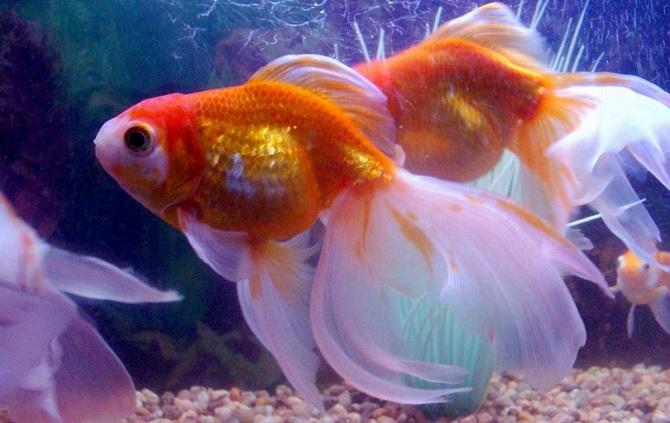 zolotye-rybki-animalreader.ru_