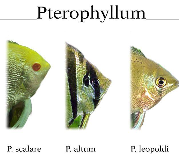 род птерофиллюм