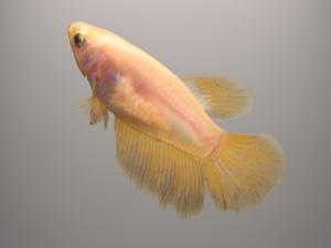 самка рыбки петушка