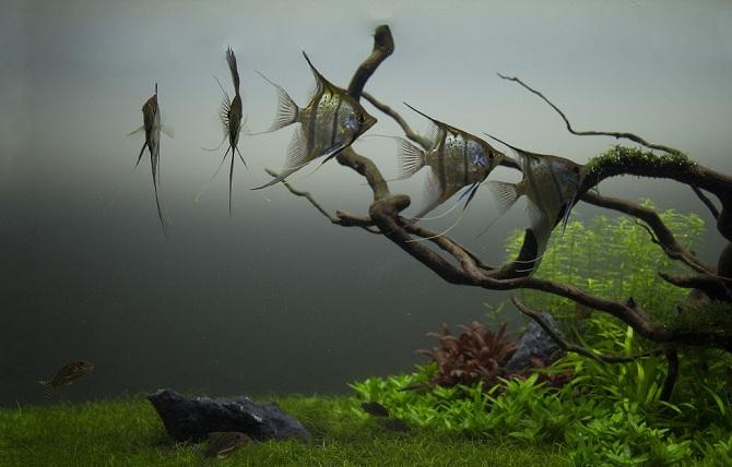 рыбки скалярии в аквариуме