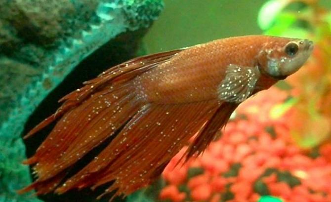 ихтиофтириоз у рыбки петушка
