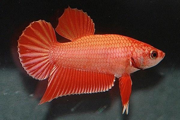 рыбка петушок вариация Pla Kat