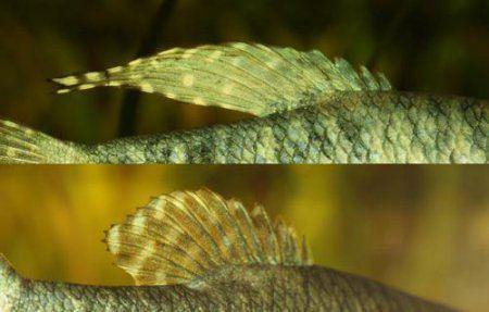 спинной плавник гурами нитеносцев