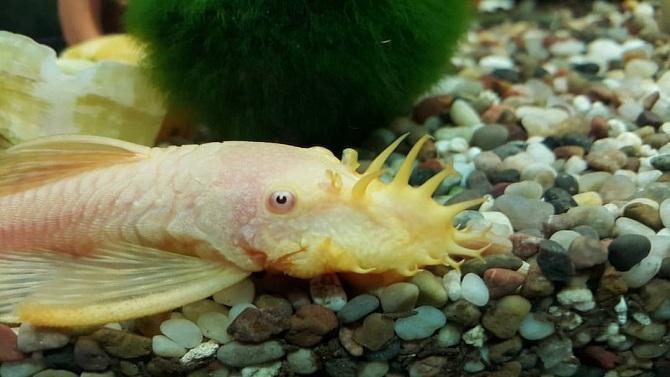 анциструс альбинос самец