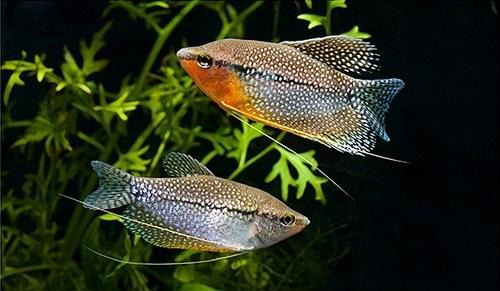 жемчужный гурами самец и самка