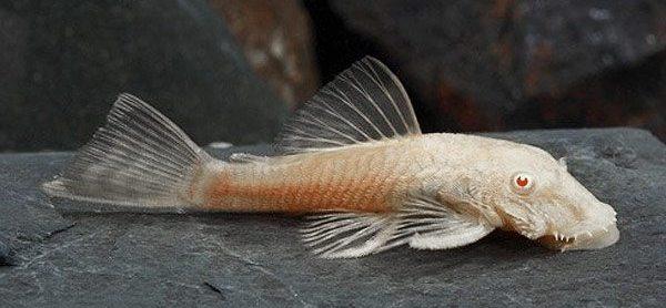 анциструс альбинос самка