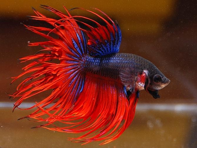 самец рыбки петушка