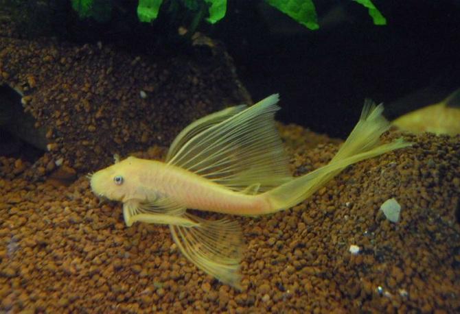 анциструс вуалевый золотой
