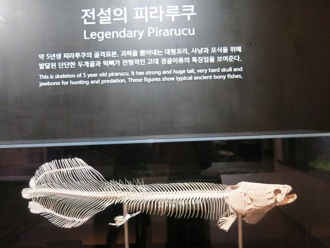 скелет рыбы пираруку