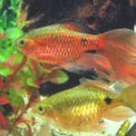 Эффектные барбусы для вашего аквариума
