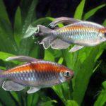 Похожая на радугу рыбка