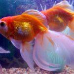 Вуалевые аквариумные рыбки — чудо красоты