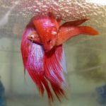 О размножении бойцовых рыбок петушков