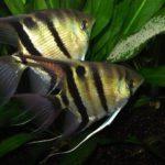 Пример заботливых родителей – рыбки скалярии
