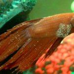 Чем болеют рыбки петушки