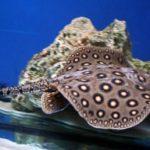 Пресноводные скаты в аквариуме