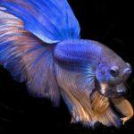 Необычная рыбка из Сиама с задиристым характером