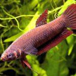 Какие бывают рыбки петушки