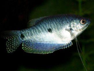 1 trichogaster-trichopterus-6