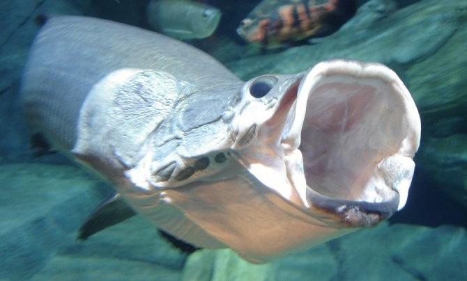 рыба пираруку или гигантская арапаима