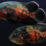 Как живётся рыбе астронотусу в аквариуме