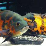 Как разводить астронотусов в аквариуме