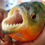 Самые кровожадные южноамериканские рыбы — пираньи
