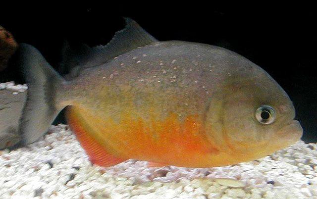Pygocentrus piraya (восточнобразильская пиранья)
