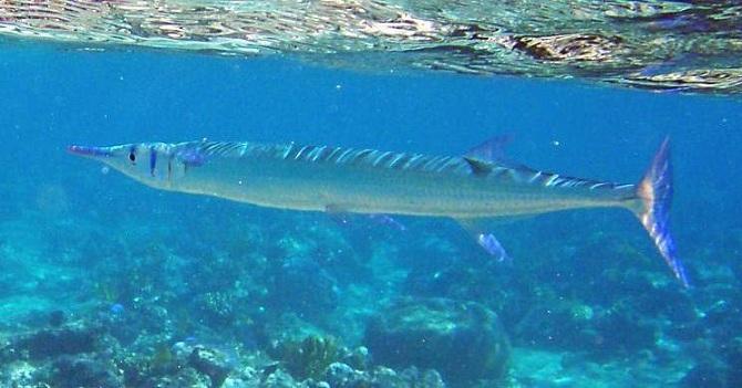 рыба сарган крокодиловый