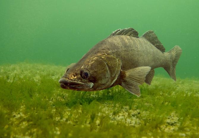 рыба судак обыкновенный
