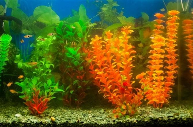 аквариум для содержания расборы