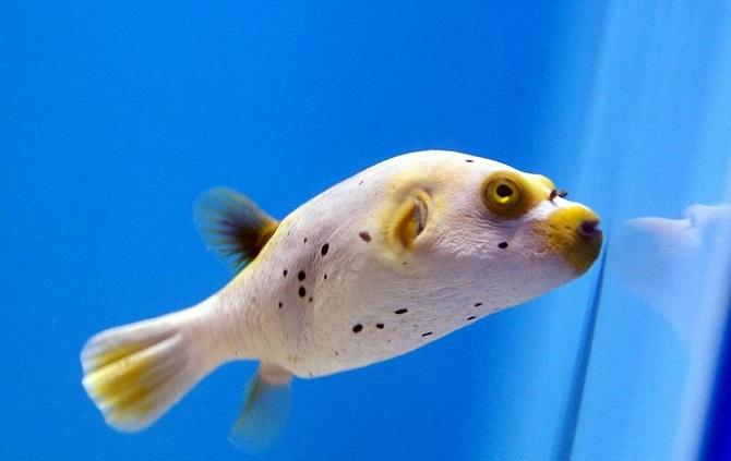рыба-собака белопятнистая