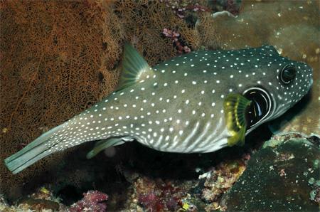рыба-собака чернопятнистая