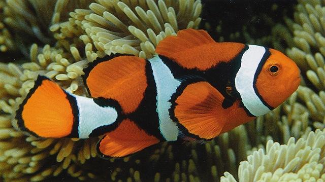 Оранжевый амфиприон или клоун-перкула, Amphiprion percula
