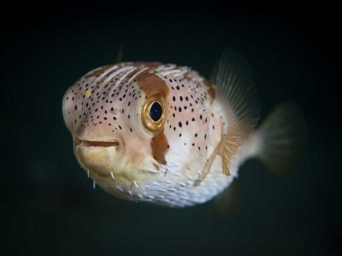 длинноиглая рыба-ёж (Diodon holokanthus)