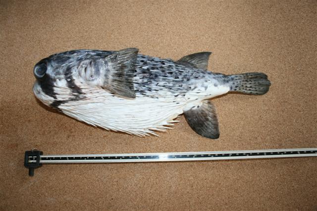 Рыба-шар пелагический диодон (Diodon eydouxii)