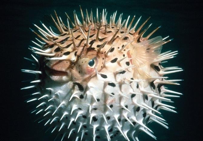 рыба-ёж или рыба-шар (род Diodon)