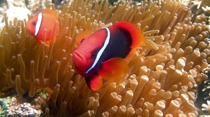 Красный или томатный клоун, Amphiprion frenatus