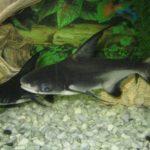 Почему пангасиуса называют акульим сомом