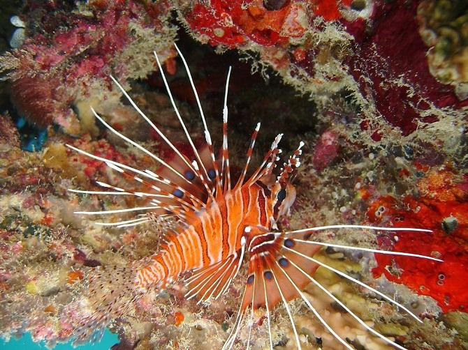 антенновая рыба крылатка
