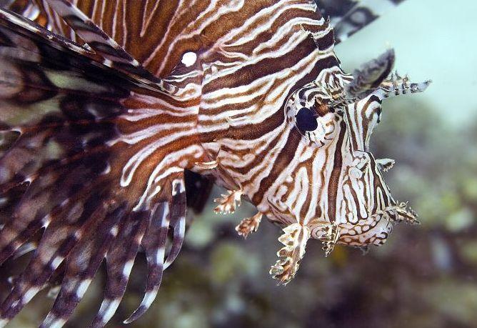 рыба лев Pterois volitans