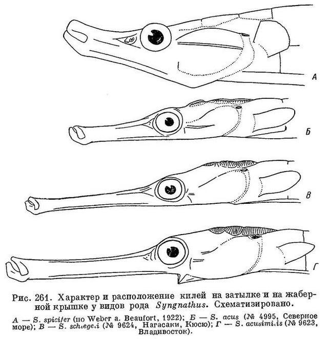 рыба игла