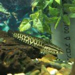 Какую рыбу называют «речным змеем»?